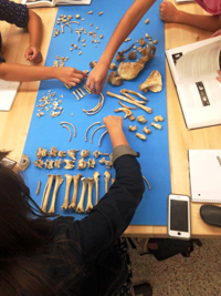 students laying out bones on a protective mat