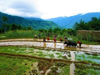 workers harvesting rice in Nepal