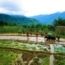 workers harvesting rice in Nepal